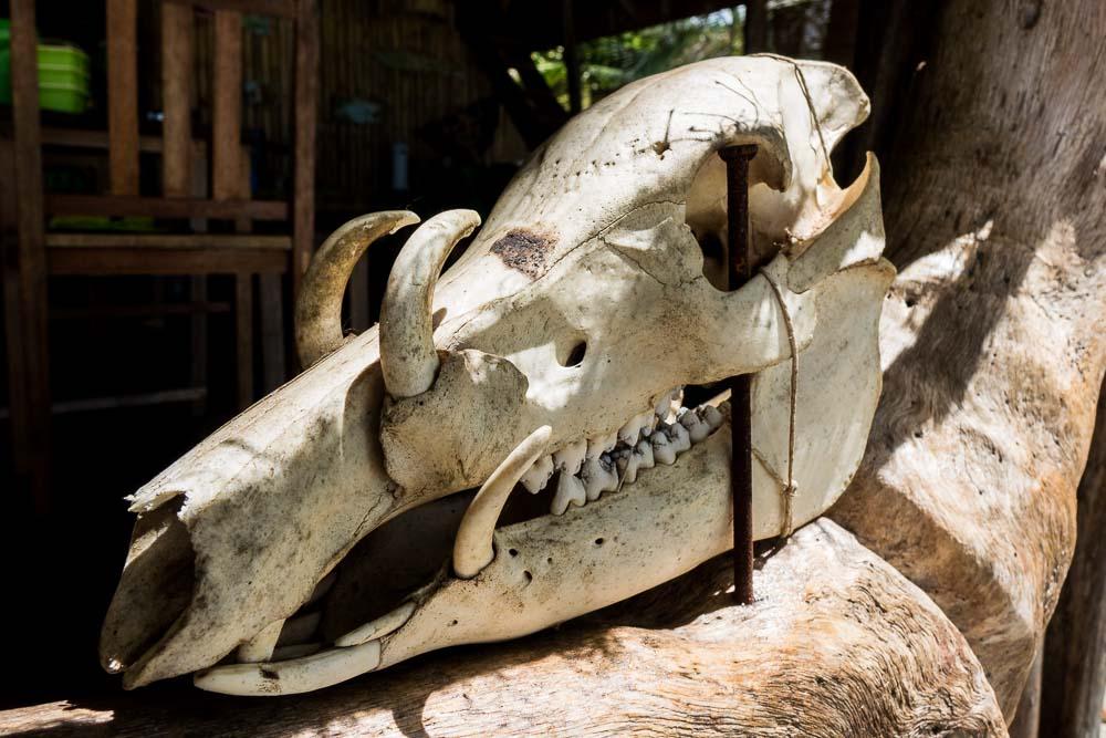 Babi Rusa Skull
