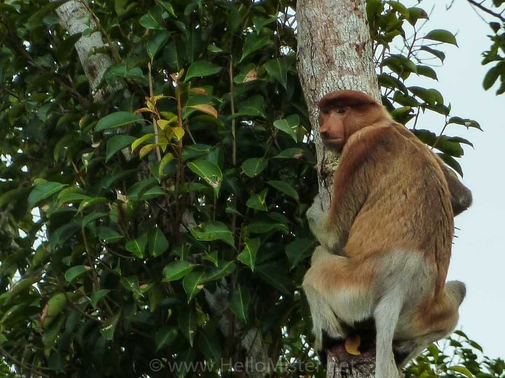 Probocis monkey - see orangutan and meet dayak people in kalimantan