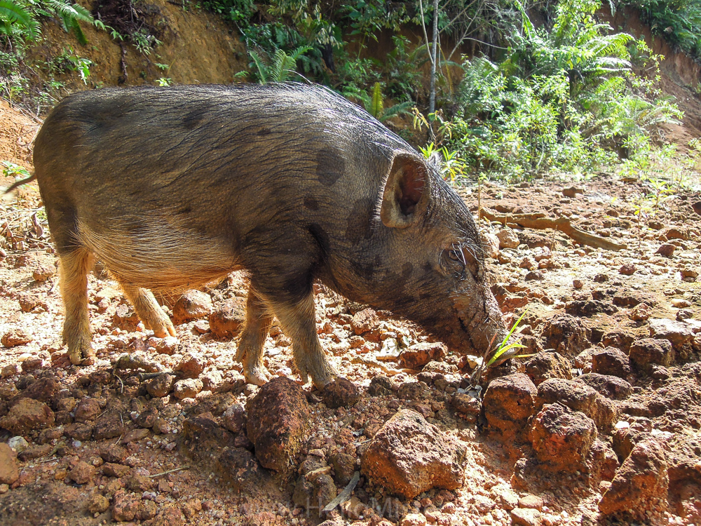 Local pig near Kudangan - see orangutan and meet dayak people in kalimantan