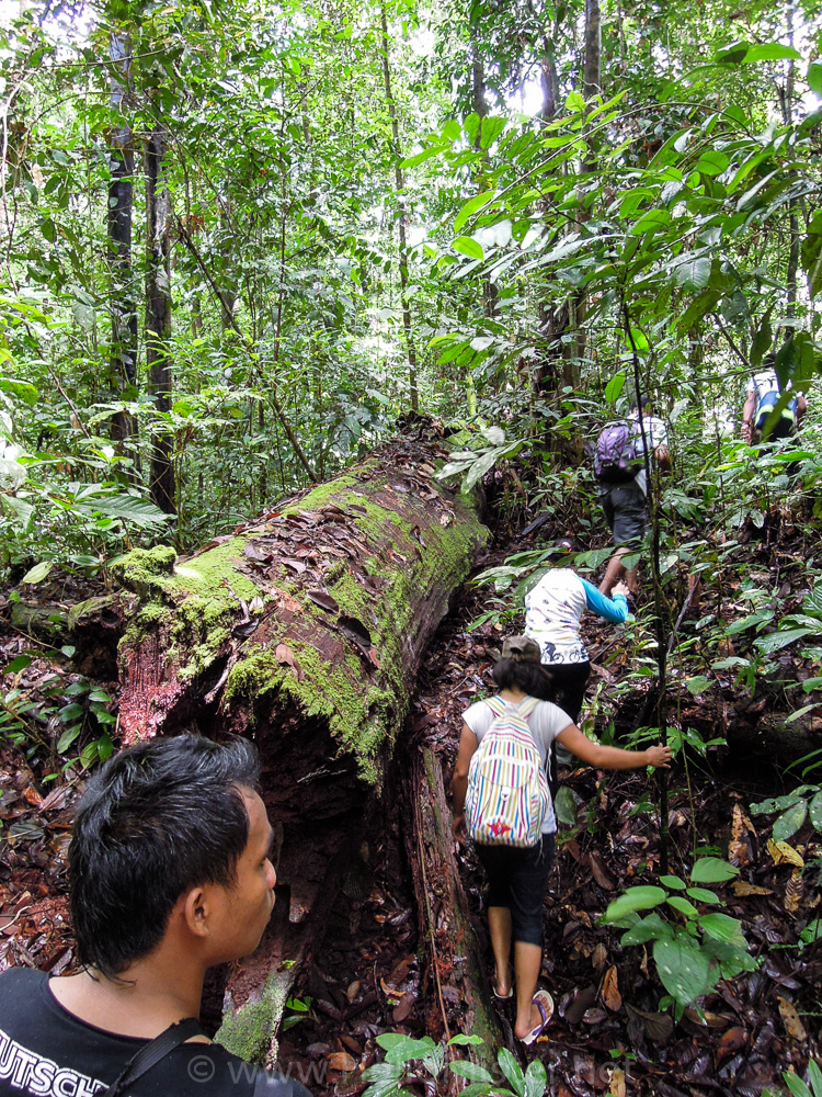 Trekking into the forest near Kundangan - see orangutan and meet dayak people in kalimantan