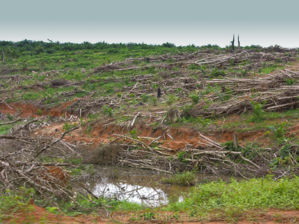 Recently felled rain forest in Kalimantan - see orangutan and meet dayak people in kalimantan