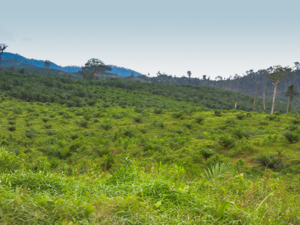 New palm oil plantation in Kalimantan - see orangutan and meet dayak people in kalimantan