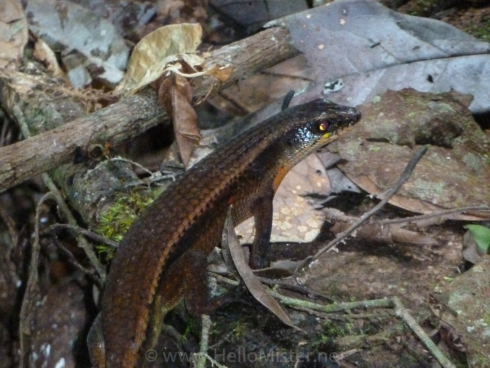 Lizard in Tanjung Puting - see orangutan and meet dayak people in kalimantan