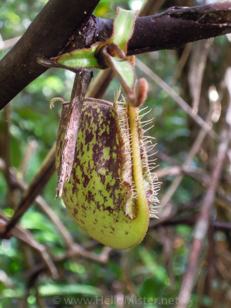 Pitcher plant in Tanjung Puting - see orangutan and meet dayak people in kalimantan