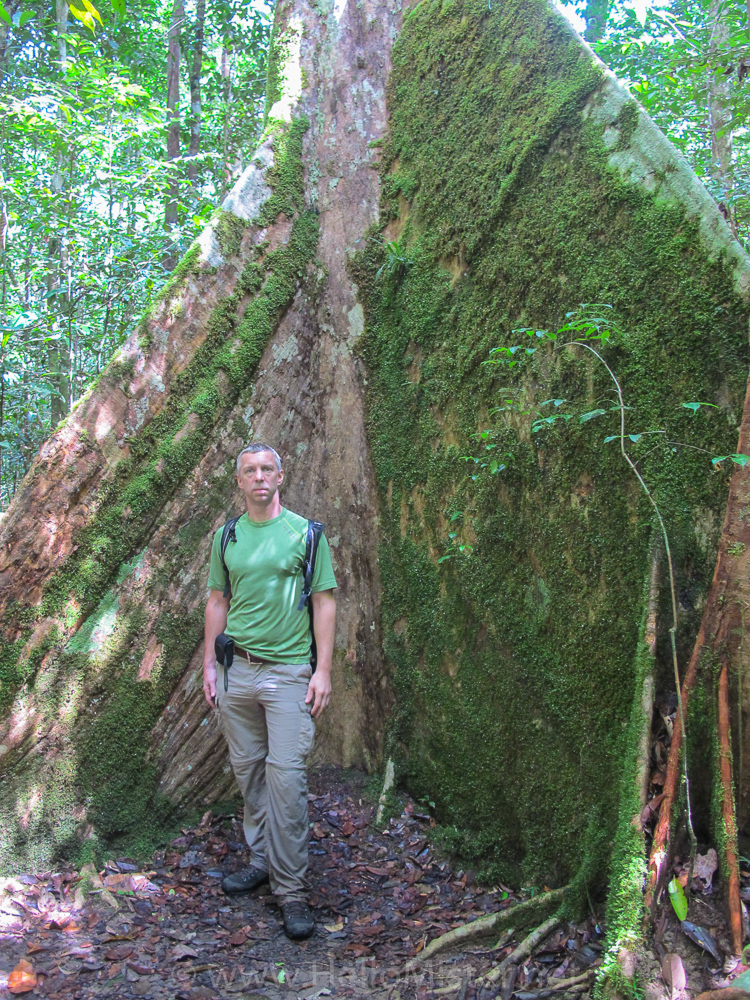Buttress tree roots in Tanjung Puting - see orangutan and meet dayak people in kalimantan