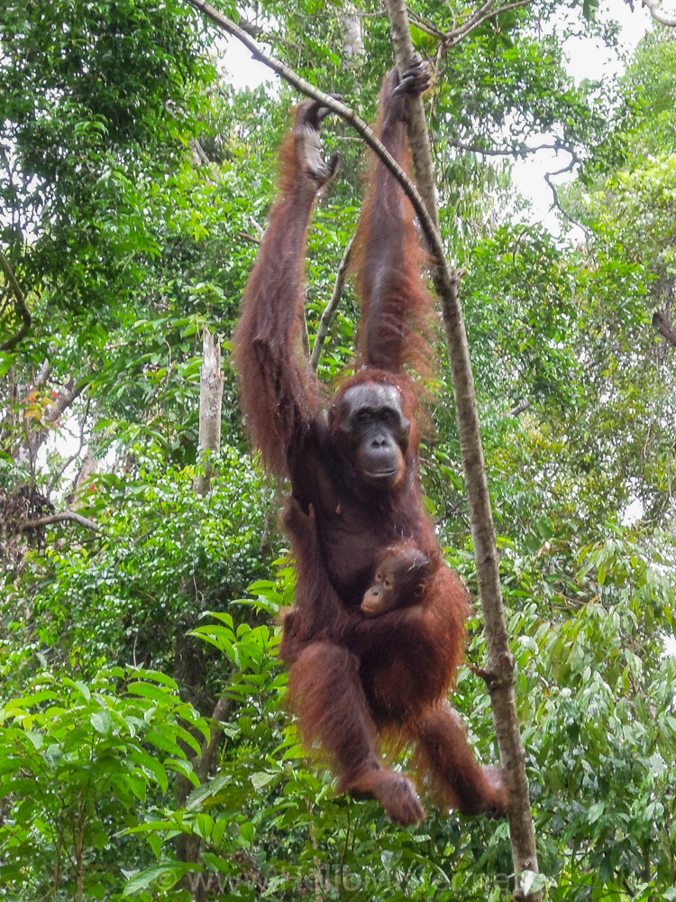 Orangutan and Baby in Tanjung Puting - see orangutan and meet dayak people in kalimantan