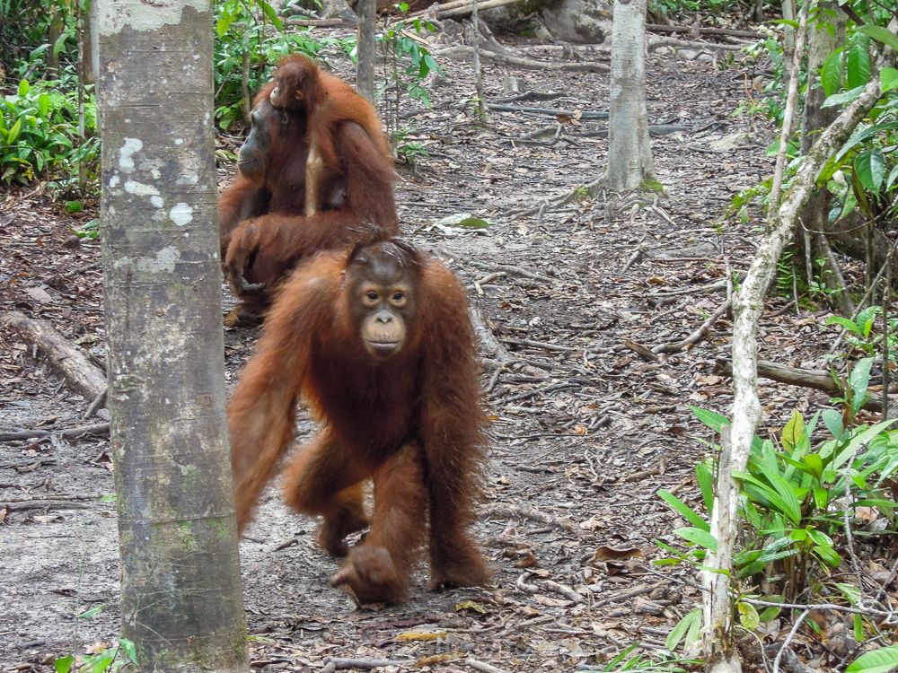 Orangutans in Tanjung Puting - see orangutan and meet dayak people in kalimantan