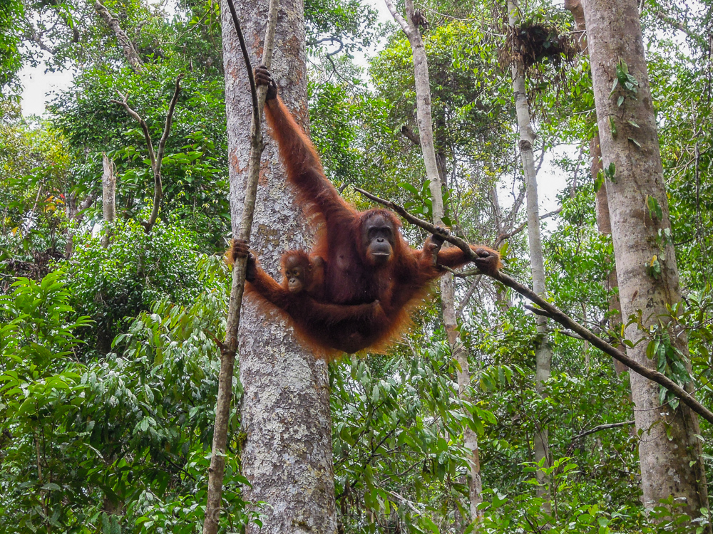Orangutans in the trees in Tanjung Puting - see orangutan and meet dayak people in kalimantan