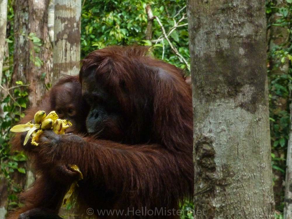 Orangutan eating bananas in Tanjung Puting - see orangutan and meet dayak people in kalimantan