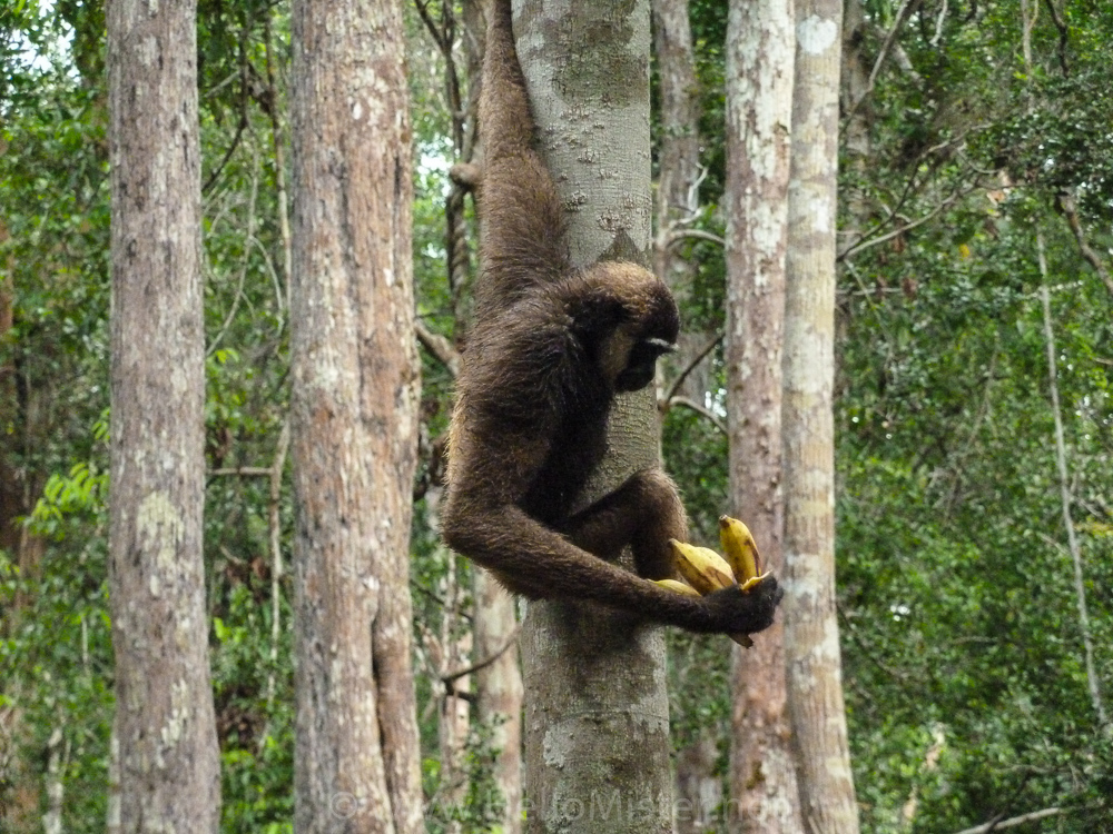 Gibbon in Tanjung Puting - see orangutan and meet dayak people in kalimantan
