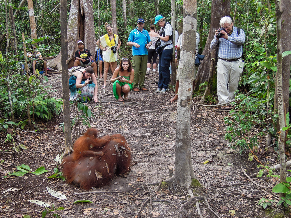 Visitors watching orangutan in Tanjung Puting - see orangutan and meet dayak people in kalimantan