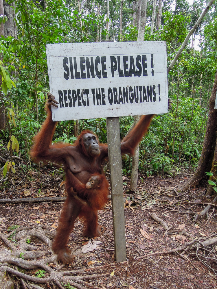 Silence and respect for orangutan in Tanjung Puting - see orangutan and meet dayak people in kalimantan