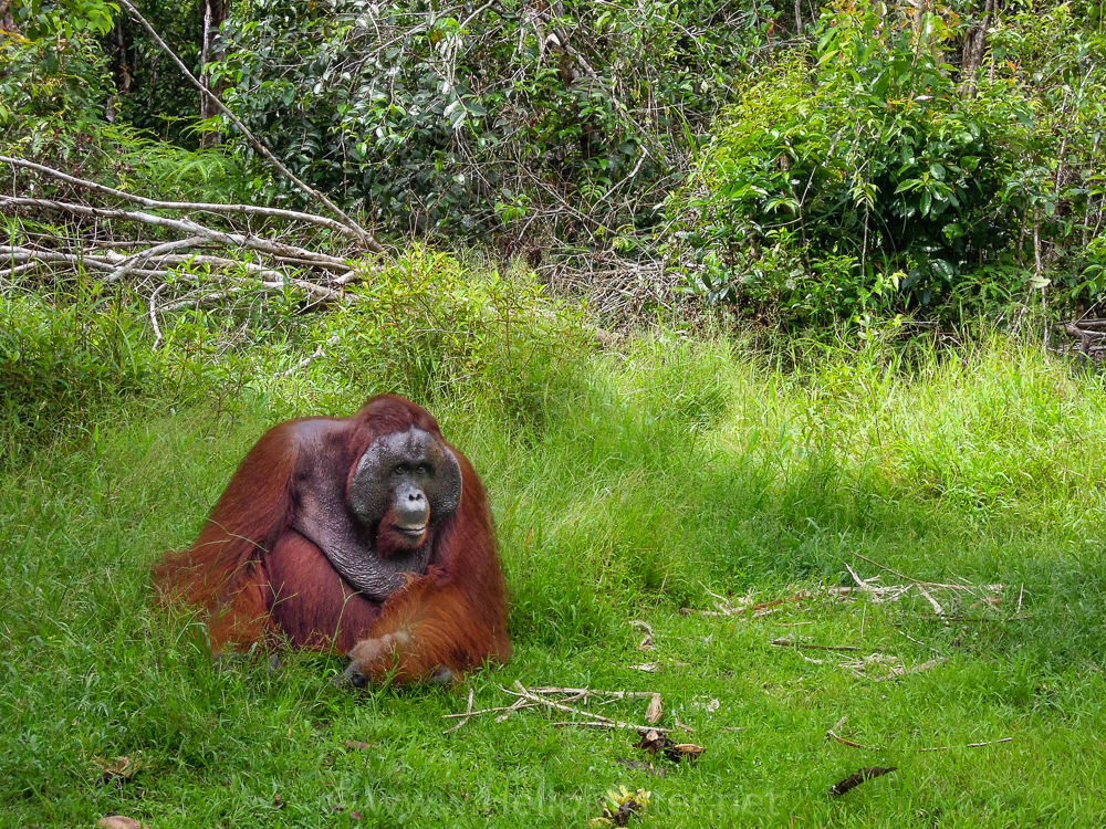 Large male orangutan in Tanjung Puting - see orangutan and meet dayak people in kalimantan