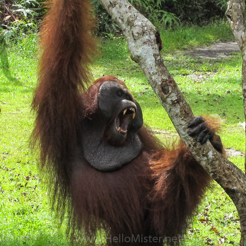 Orangutan shows his teeth in Tanjung Puting - see orangutan and meet dayak people in kalimantan