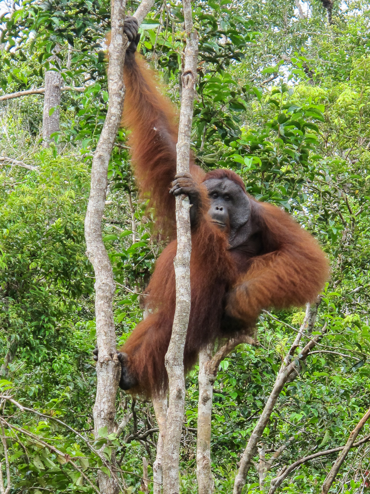 Large orangutan strikes a pose in Tanjung Puting - see orangutan and meet dayak people in kalimantan