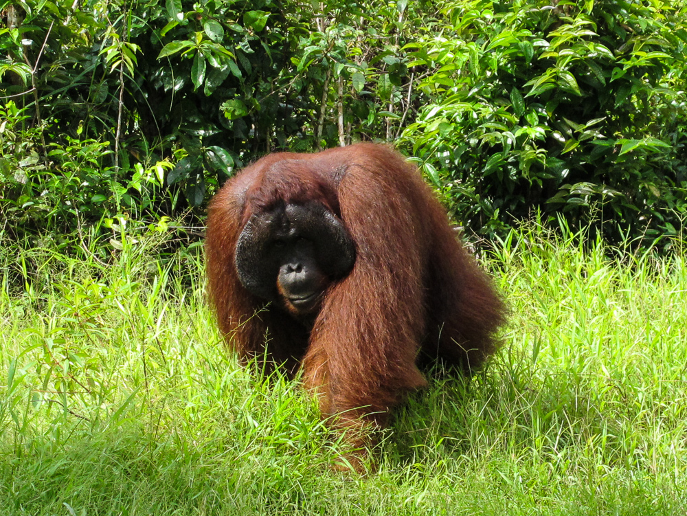 Male orangutan in the grass in Tanjung Puting - see orangutan and meet dayak people in kalimantan