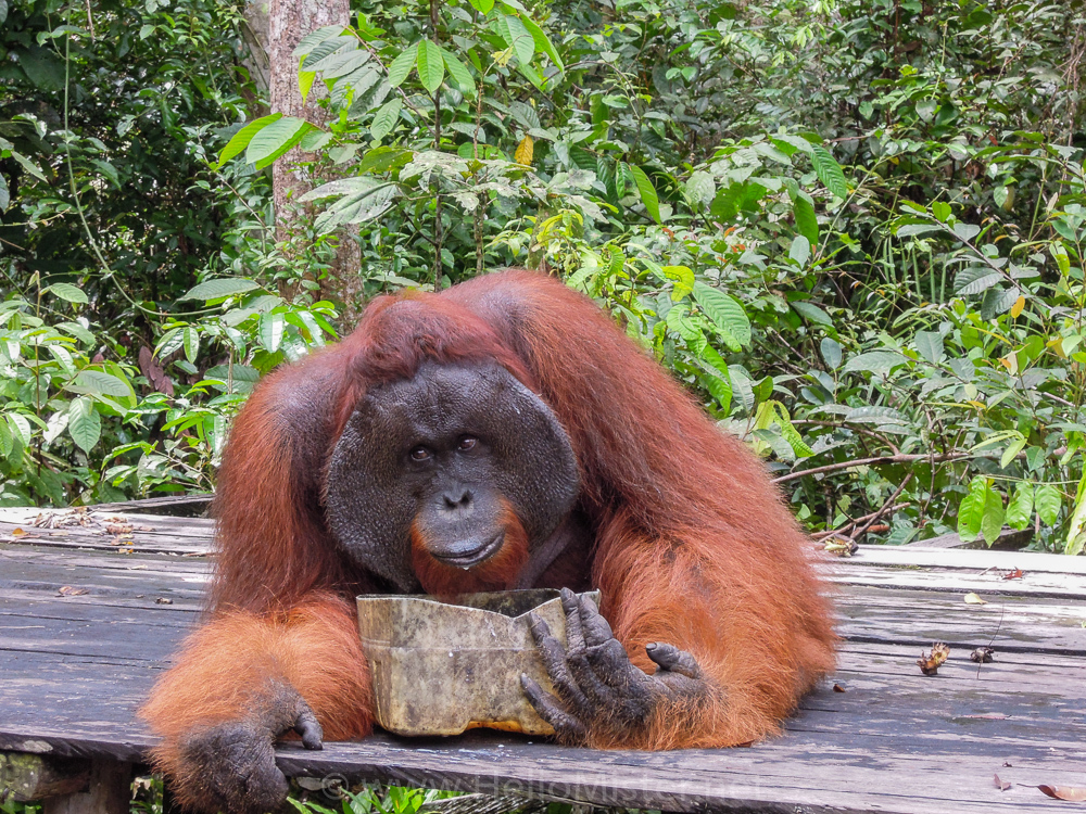 Male orangutan having a snack in Tanjung Puting - see orangutan and meet dayak people in kalimantan