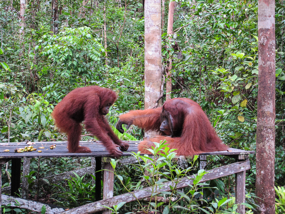 Male orangutan greets his female in Tanjung Puting - see orangutan and meet dayak people in kalimantan
