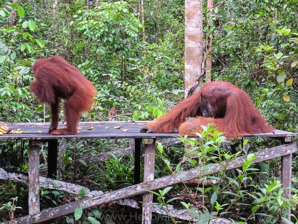 Orangutan couple sharing lunch in Tanjung Puting - see orangutan and meet dayak people in kalimantan