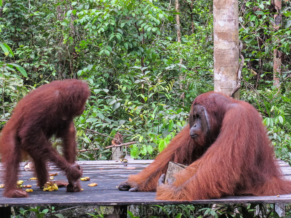 Orangutan couple in Tanjung Puting - see orangutan and meet dayak people in kalimantan