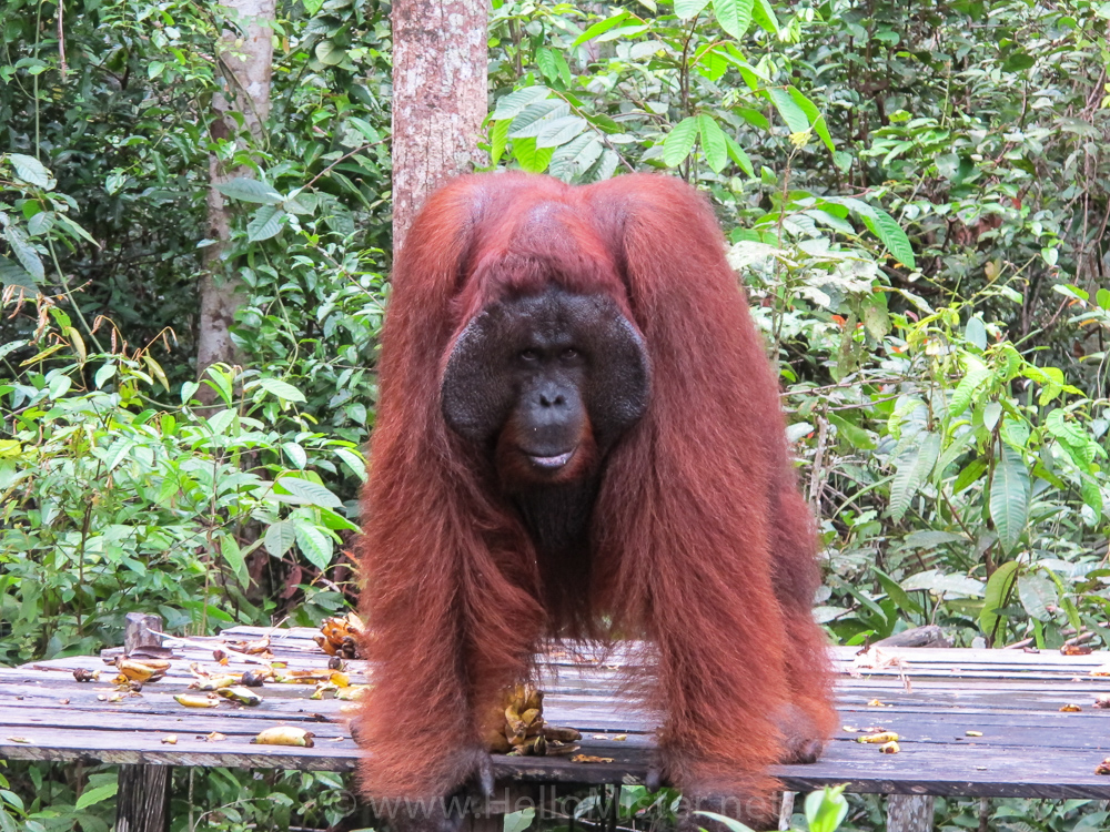 Male orangutan issues a challenge in Tanjung Puting - see orangutan and meet dayak people in kalimantan