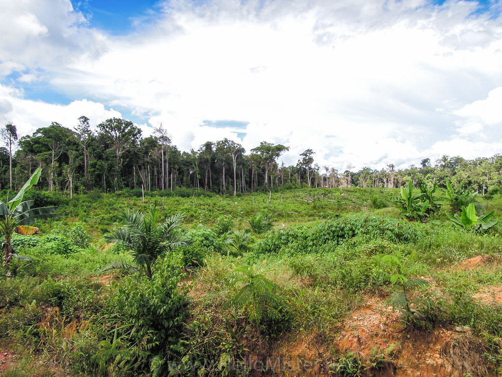 Forest clearance in Kalimantan - see orangutan and meet dayak people in kalimantan