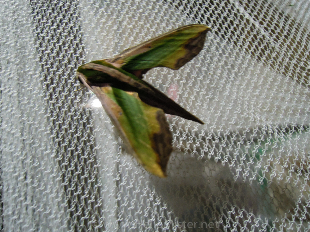 Strange green moth - see orangutan and meet dayak people in kalimantan