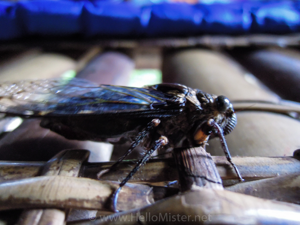 Large cicada - see orangutan and meet dayak people in kalimantan