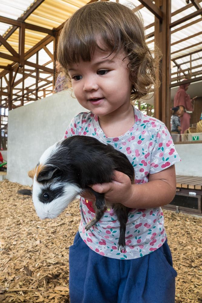 Holding guinea pigs - Day trip to Kuntum Farmfield in Bogor