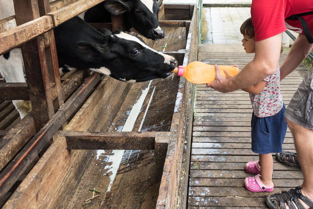 Feeding the calves - Day trip to Kuntum Farmfield in Bogor