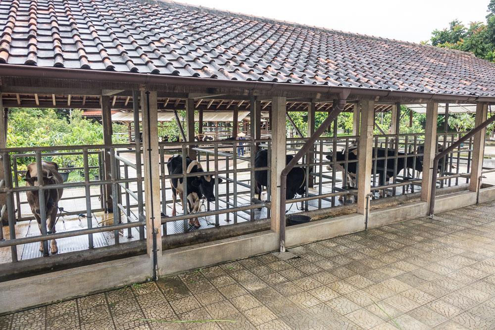 Cattle stall - Day trip to Kuntum Farmfield in Bogor