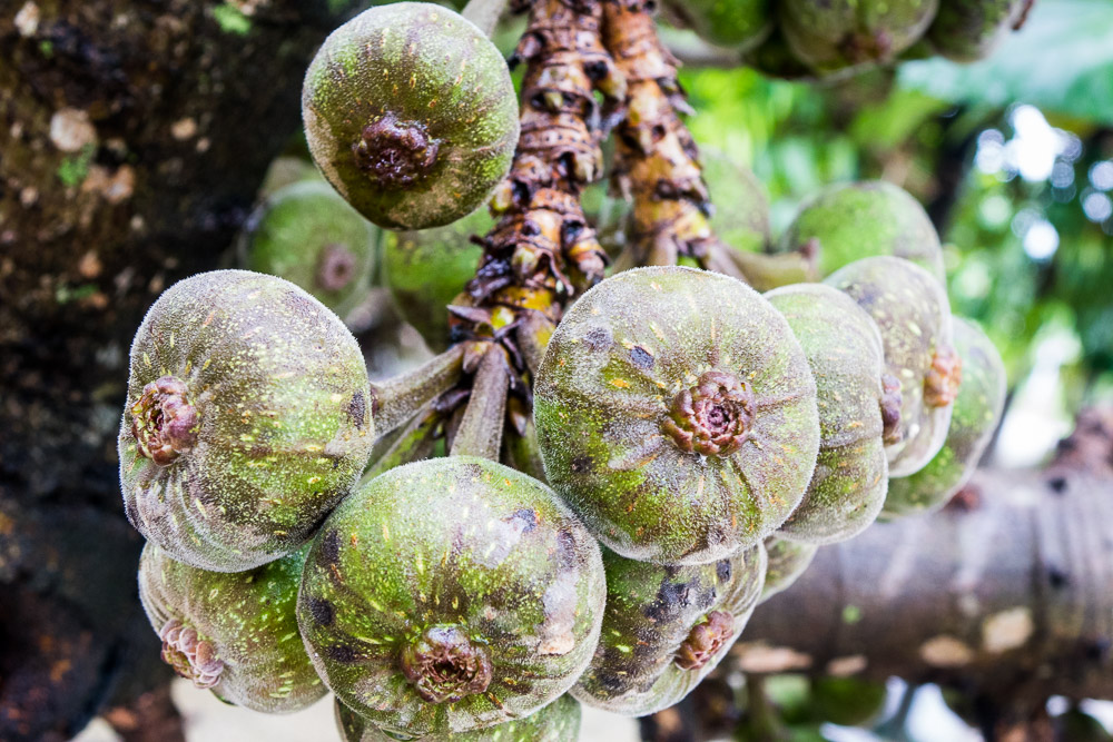Figs on the tree - Day trip to Kuntum Farmfield in Bogor