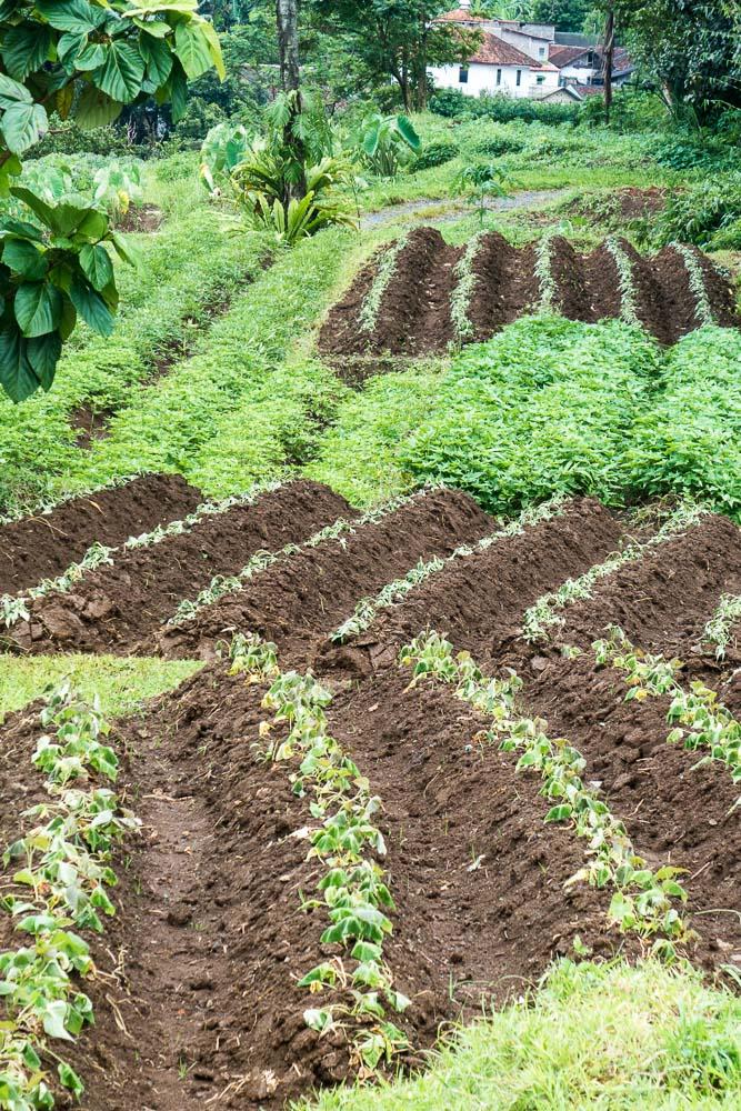 Growing vegetables - Day trip to Kuntum Farmfield in Bogor