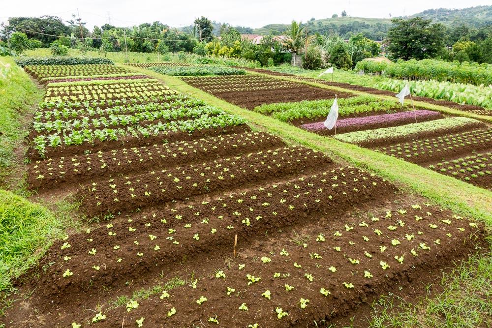 Raised beds - Day trip to Kuntum Farmfield in Bogor