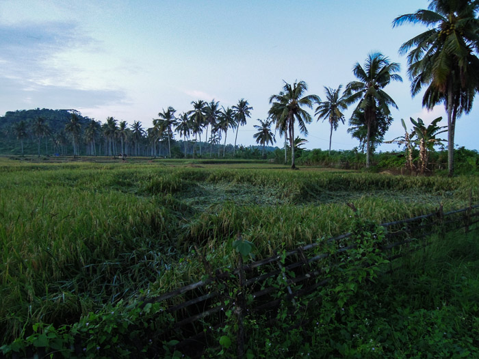 Rice paddy and palm trees - Ring of Fire An Indonesian Odyssey Book Review