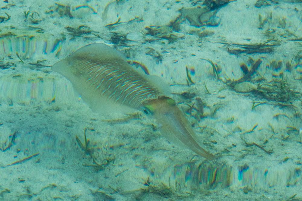 Squid - Morotai Island