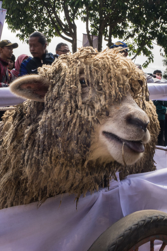 A sheep as a gift - Dieng Culture Festival